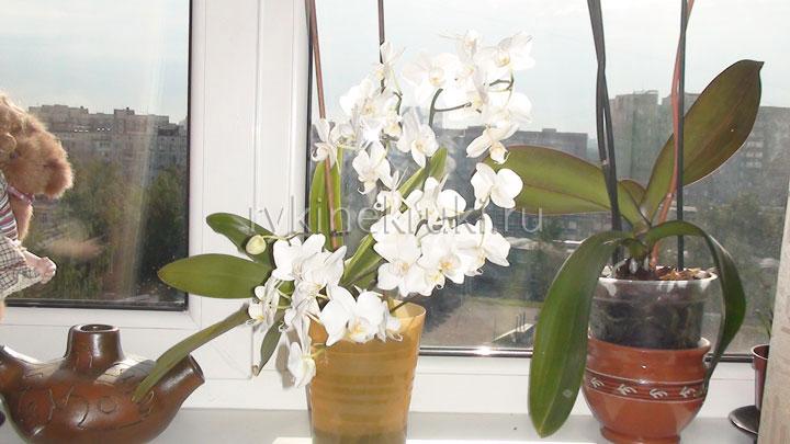 белые орхидеи в интерьере